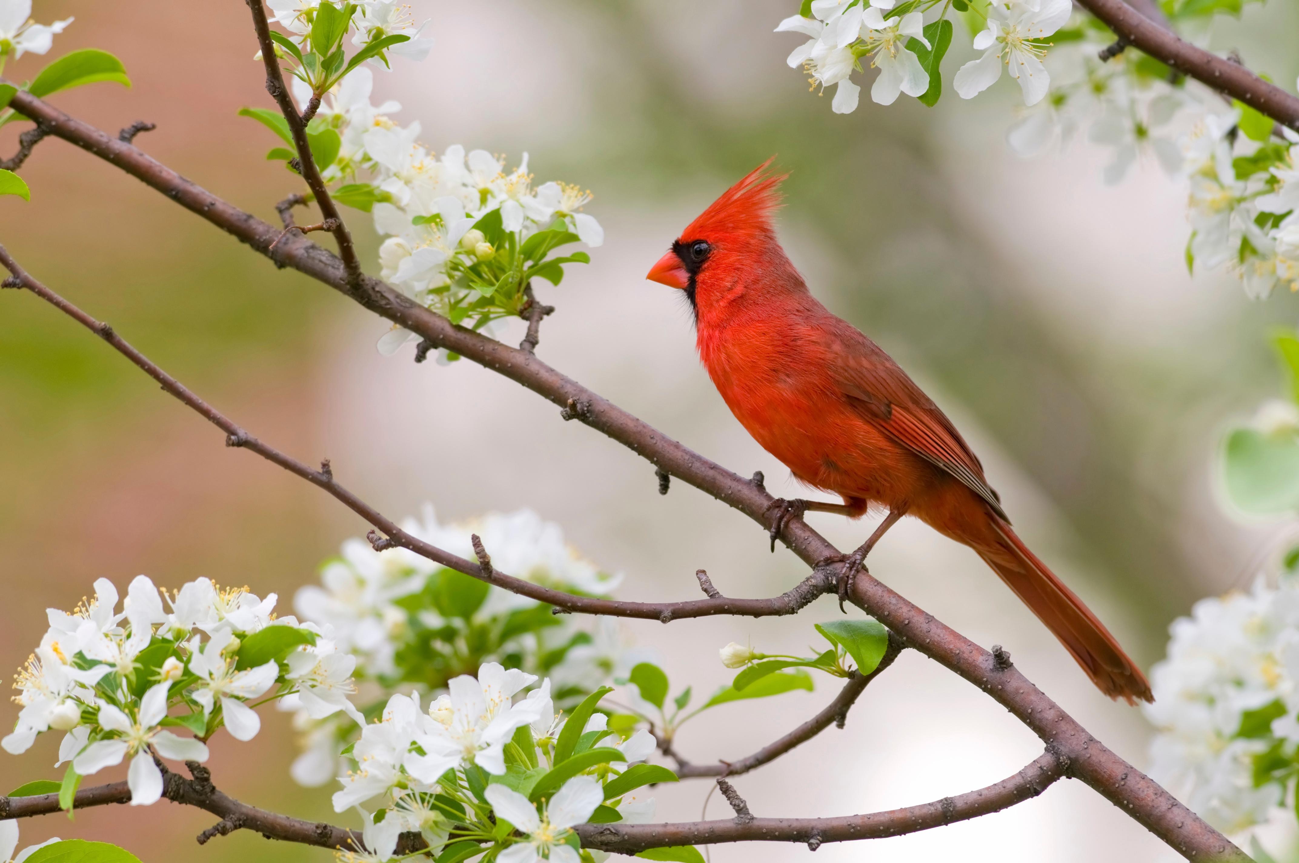 virginia-cardinal-dogwood-iStock-1